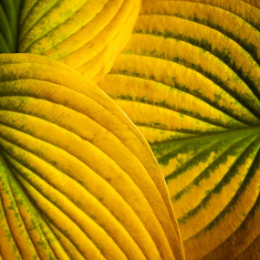 by Leann Shamash - Nature Up Close Leaves & Grasses ( hostas at the end of the season, hostas, leaves for library show )