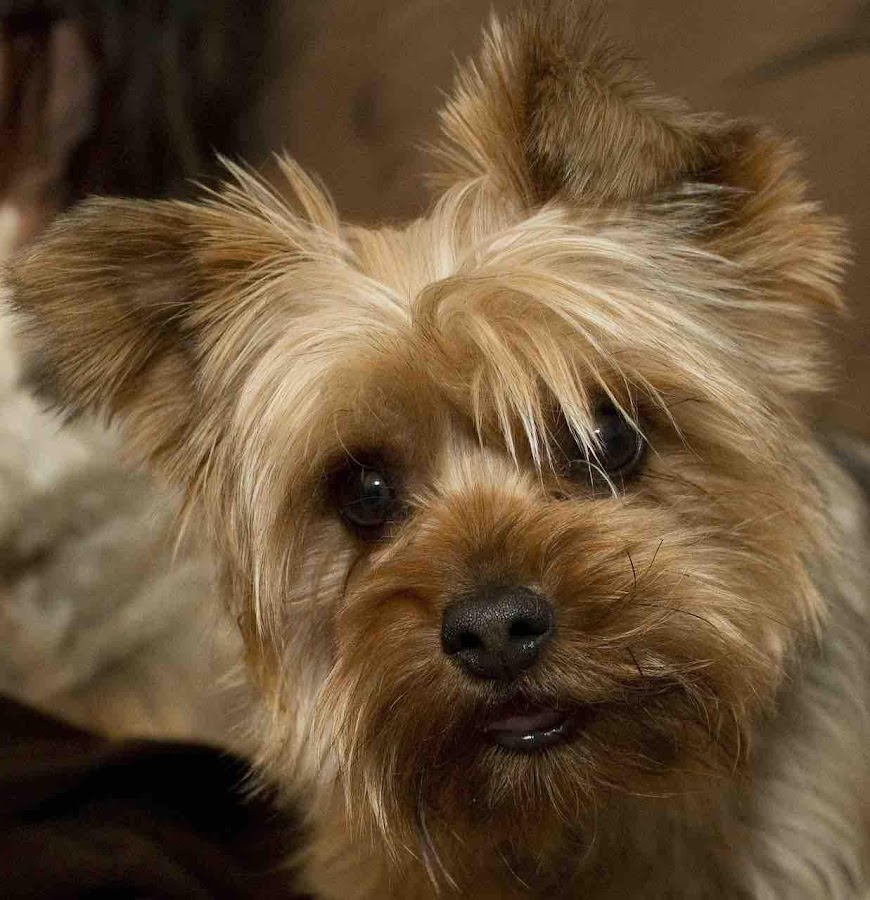 Yorkie Dog Wallpapers - Android Apps on Google Play
