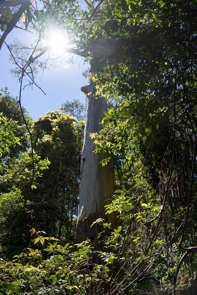 巨大なユーカリの木