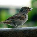 Juvenile lesser Antillean bullfinch