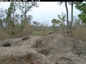 Photo: And a pack of mongooses cleaninga salt lick in Cangandala E um grupo de manguços limpando uma salina na Cangandala
