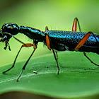 Elongated Tiger beetle