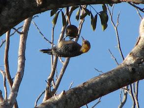Photo: Golden Cheeked Woodpecker.