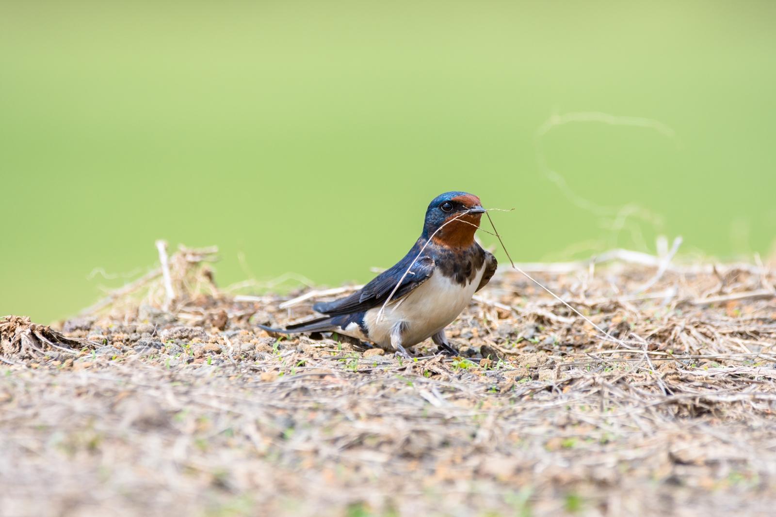 Photo: 「かたちを築く」 / Build a house.  少しずつ 時間をかけてこつこつと 小さな積み重ね 新たなかたちを生み出していく  Barn swallow. (ツバメ)  Nikon D7200 SIGMA 150-600mm F5-6.3 DG OS HSM Contemporary  #birdphotography #birds #kawaii #ことり #小鳥 #nikon #sigma  ( http://takafumiooshio.com/archives/2435 )