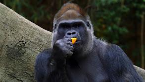 A Gorilla With Heart thumbnail