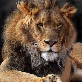 Lion Paws by Shawn Thomas - Animals Lions, Tigers & Big Cats ( pride, predator, lion, cat, carnivore, mane, wildlife, king, large,  )
