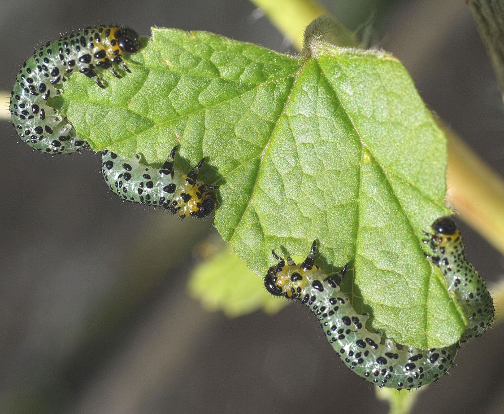 How to deal with the sawfly larvae in greenhouses