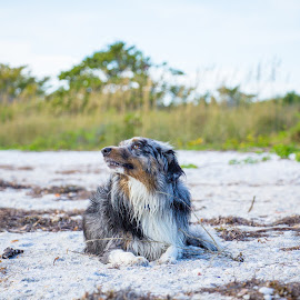 Regal by Meaghan Browning - Animals - Dogs Portraits ( sand, mini aussie, australian shepherd, beach, aussie )