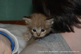 Photo: The smallest of the litter on a safari hunt across my son's shoulders.  Look at those claws!