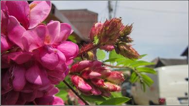 Photo: Salcâm roșu (Robinia hispida) - din Turda, de pe Str. Salinelor - 2018.06.16