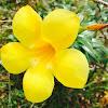 bunga loceng, golden trumpet
