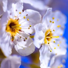 Spring blooms by Greg Bracco - Flowers Tree Blossoms ( flowers, spring, greg bracco photography., greg bracco photography,  )