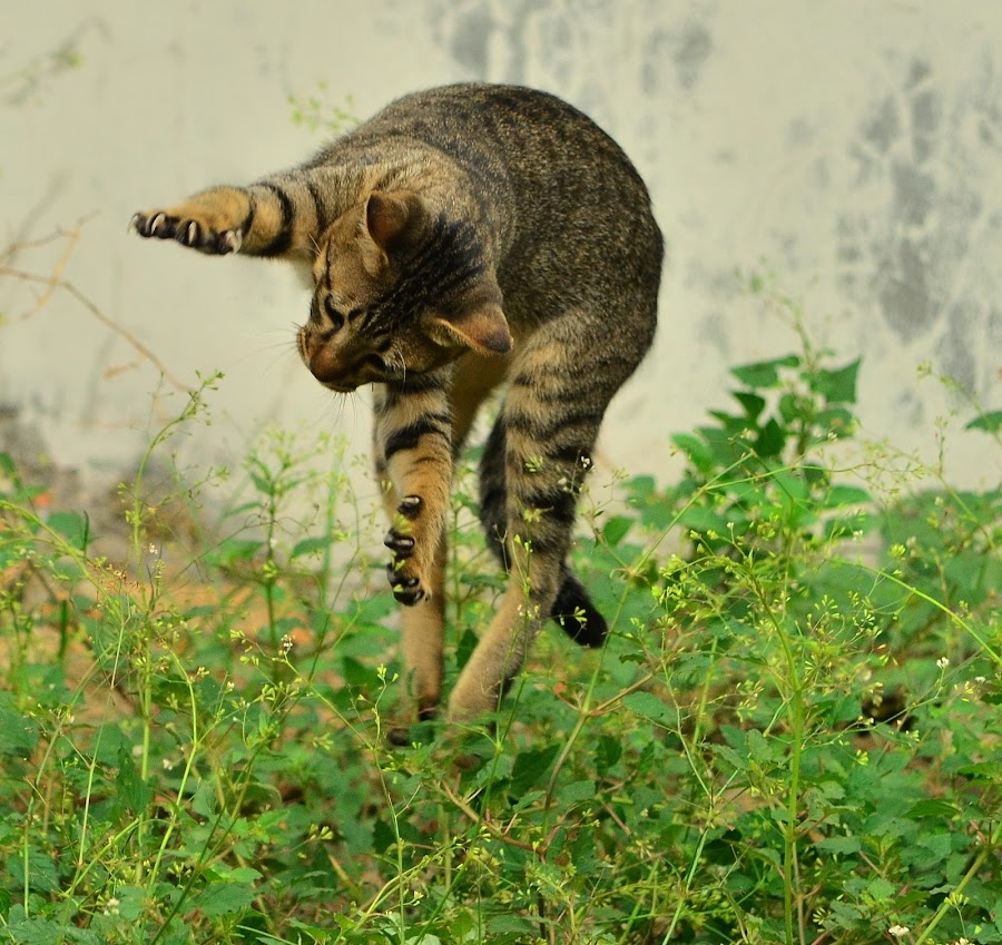 Jumping by Hans Dihan - Animals - Cats Playing ( playing, startled, backyard, run, jump,  )