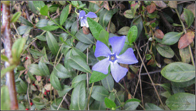 Photo: Saschiul, Pelvinica - (Vinca minor) - din Piata 1 Decembrie 1918, spatiu verde - 2018.04.17