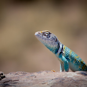 by Jay Kleinrichert - Animals Reptiles