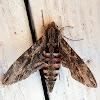 Convolvulus Hawk-moth