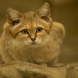 Sand cat  by Paul Fine - Animals Other Mammals ( sand, green, feline, cat, desert, eyes )