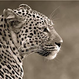 The Prins by Pieter J de Villiers - Black & White Animals