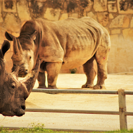 2 of a Kind by Benito Flores Jr - Animals Other ( africa, san antonio, texas, zoo, rhinos, desert, hot, photography )
