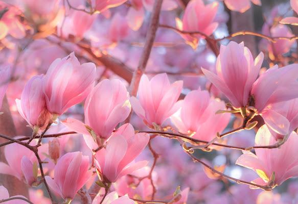 Deep Pink Magnolia di gnuc