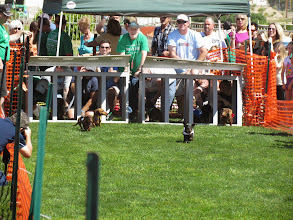 Photo: The Wiener dogs are out of the gate. Photo by Turf Paradise