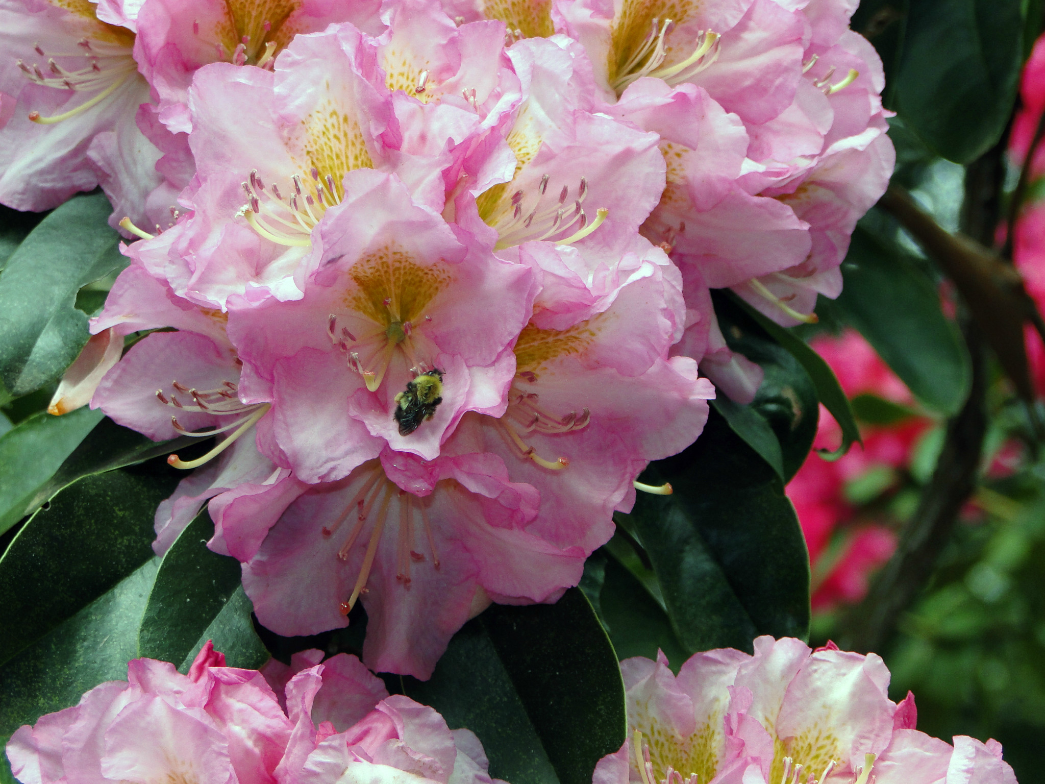 Photo: Ericacea Rhododendron 'Alice Poore', 'Dexter Hybrid Rhododendron'