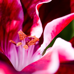 Macro flower by Zoran Savic - Flowers Flower Gardens