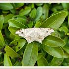Geometridae moth 尺蛾科