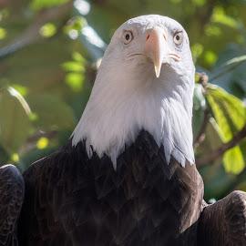 eagle by Bert Templeton - Animals Birds ( bird, eagle, bald, united states, bald eagle, texas, america, bert templeton )