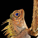 Blue-eyed Anglehead Lizard