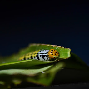 Uler by Krishna Murti - Animals Insects & Spiders ( macro, insect, photography )