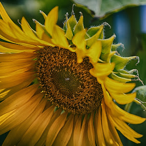 The absolute sunflower at its best! by Stavros Troullinos - Flowers Single Flower ( single flower, green, sunflower, yellow, closeup, flower,  )