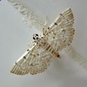 White Grass Moth