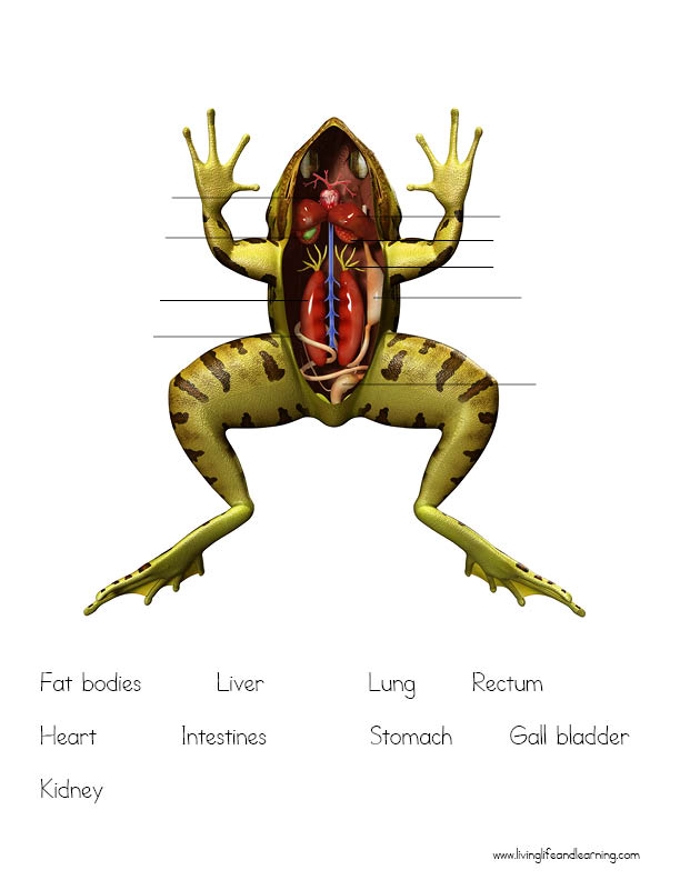 Frog Anatomy Worksheets