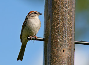 Photo: A chipping sparrow visiting the thistle feeder one summer. Another entry for #BackyardBirdingMonday curated by +Ricky L Jones and +Celeste Odono