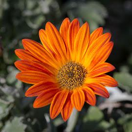 Daisy Like In Orange by Janet Marsh - Flowers Single Flower ( sloat garden )