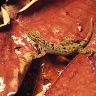 Collared Streak Lizard (female)