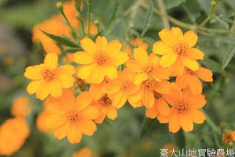 Photo: 拍攝地點: 梅峰-溫帶花卉區 拍攝植物: 芳香萬壽菊 拍攝日期: 2015_10_27_FY
