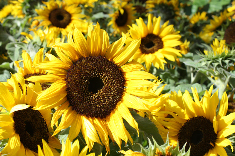 Photo: Nothing says Summer better than Sunflowers! May your weekend be sunny whether it's inside or out.  #FloralFriday  +FloralFriday http://wendyshat.blogspot.com/2012/07/sunflowers-in-garden.html