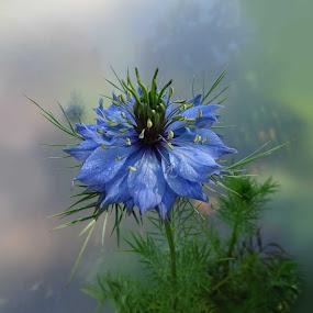 Nigella by Ilona Stefan - Flowers Single Flower (  )