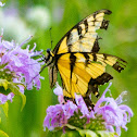 eastern tiger swallowtail (on wild bergamot)
