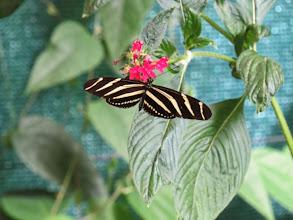 Photo: Zebra Helliconian