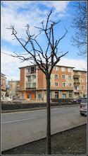 Photo: Corcoduş ornamental roşu (Prunus cerasifera Nigra) - de pe Str. Libertatii - 24.02.2017