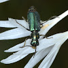 Cliff Tiger Beetle