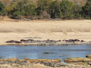 Photo: a pod of hippos