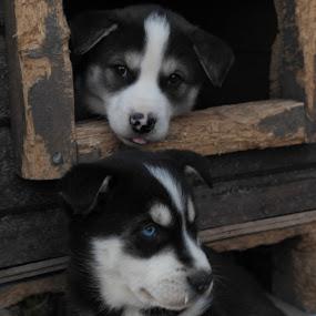 Alaskan Husky puppies by Ricky Friskilæ - Animals - Dogs Puppies ( puppies alaskan husky sled dogs norway )