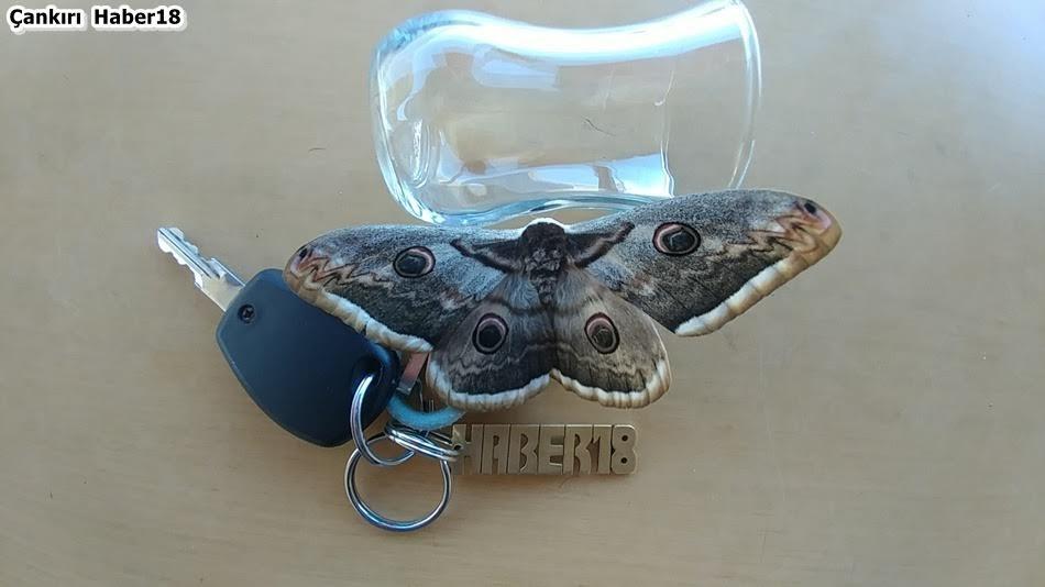 Çankırı Kelebek,Çankrı'da Yaşayan Kelebek,