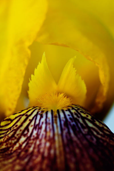 Photo: Day 153 +G+ 365 Project : 1 June 2012 inside a Yellow Iris  Happy June everyone! My mom's Irises are still in bloom giving me some practice with photographing in a shaded area. #365project  #flowerphotography  #iris  #macrophotography