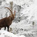 Alpine Ibexes / Bouquetins