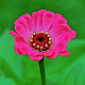 The 'Queen' and her Crown... by Doug Wean - Flowers Single Flower ( zinnia, nature, flower nature, digital art, nature up close, flower bud, garden, flower,  )